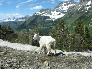 Mountain Goat in Montana